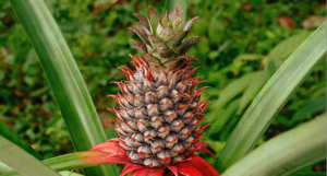Bromeliads, which include the pineapple, may prove to be a good way to improve indoor air.
