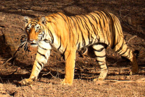 India's famed Bengal Tiger. Credit:Bjørn Christian Tørrissen via Wikipedia.